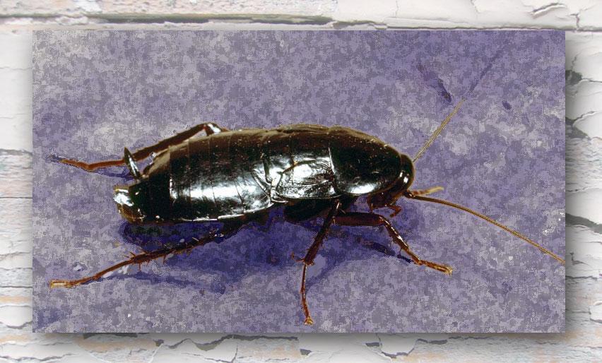 scarafaggio nero foto hd